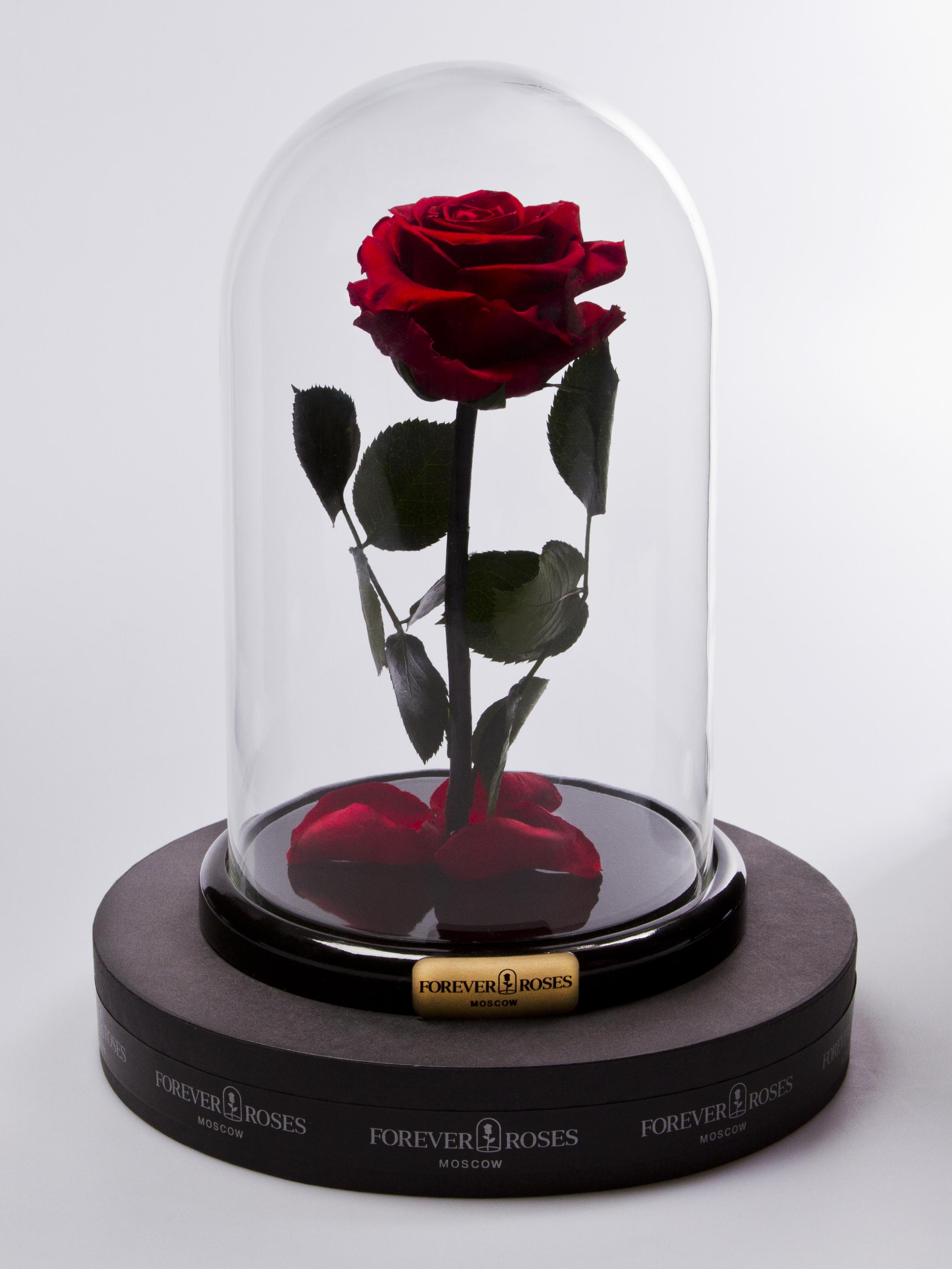 Роза мини Maroon<br>